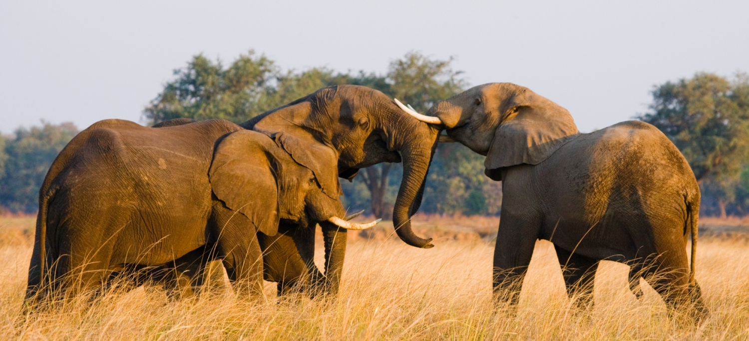Two elephants playing with each other. Zambia. Lower Zambezi National Park. Zambezi River. An excellent illustration.