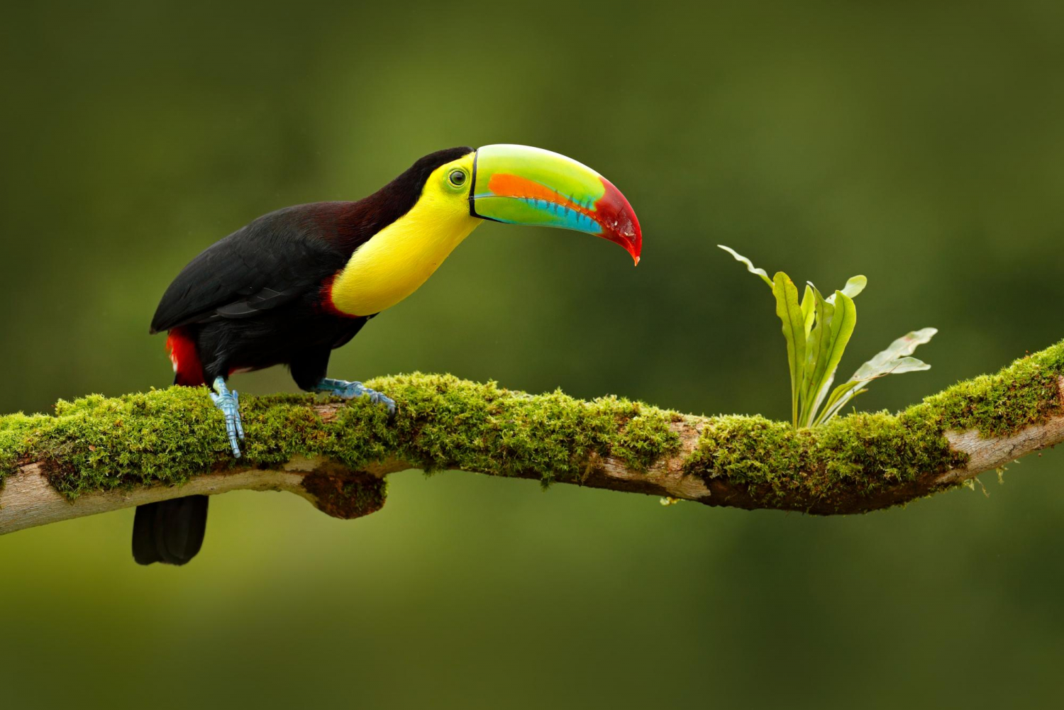 Keel-billed,Toucan,,Ramphastos,Sulfuratus,,Bird,With,Big,Bill,,Sitting,On